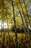 The Sun Shining Through Aspen Trees in the Fall