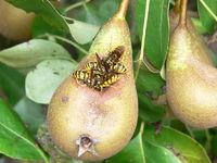 Wespen fressen eine Birne und höhlen sie aus