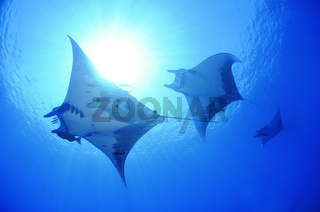 Mobula tarapacana, Kleiner Teufelsrochen,  Schule von Mobulas , Manta,  Devil ray, Devil fish, big school of Manta rays with scuba diver