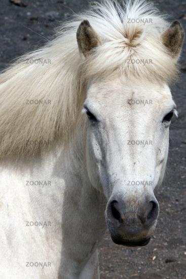 Iceland horse,