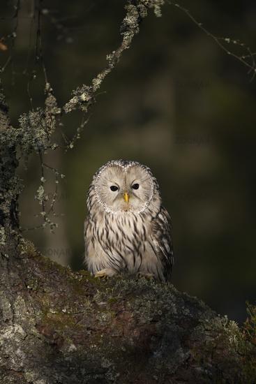 Owls of Europe... Ural Owl *Strix uralensis*