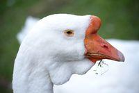 Portrait of a goose.