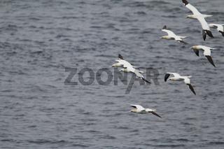 Northern gannet, Morus bassanus, Basstölpel