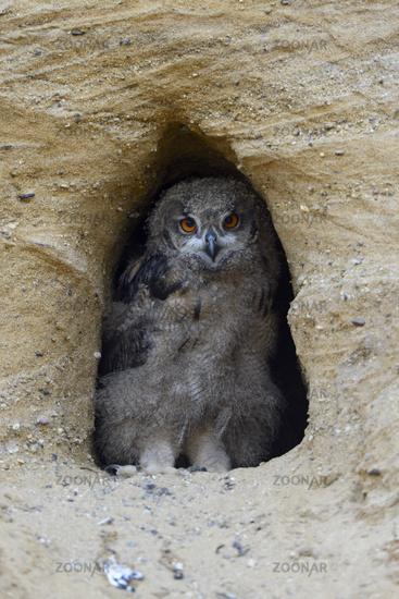 timid... Eurasian Eagle Owl *Bubo bubo*