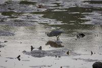mangrove heron-hunting