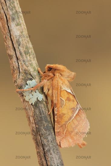 Orange moth (Triodia sylvina)