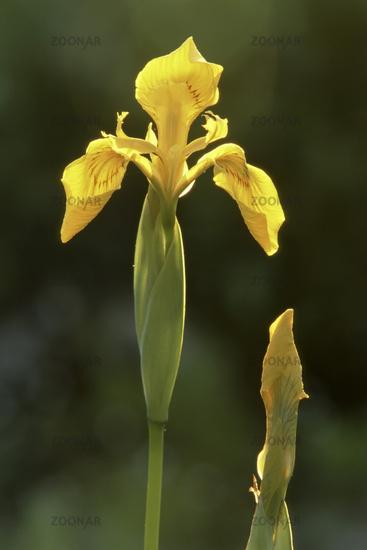 Water iris (Iris pseudacorus)
