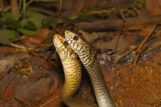 Two male rat snakes, Ptyas mucosa in a combat. Aarey Milk Colony, Mumbai, Maharashtra, India