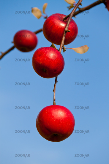 Red apples on tree in autumn