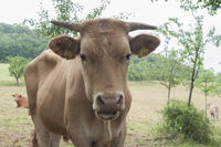 beef cattle from the Limpurg Mountains, Germany