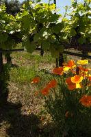 Flowers growing underneath grape vines in a wine vineyard in California.