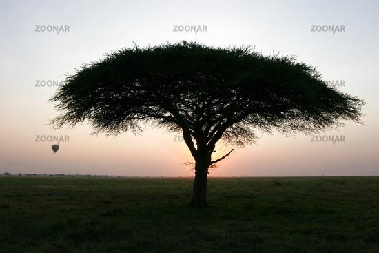 Tree and balolon at sunset