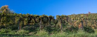 Rows of vine in a vineyard in ticino, switzerland