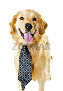 Golden retriever dog wearing a tie