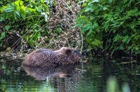Beaver in the water in the river