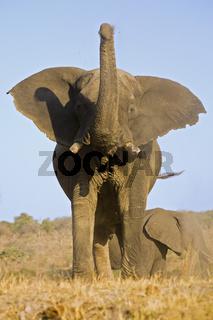Afrikanischer Elefant (Loxodonta africana) bewirft sich mit Staub, Chobe Fluss, Chobe Fluss, Chobe-Nationalpark, Botswana, Afrika, African Elephant throwing with dust, Chobe River, Chobe NP, Africa
