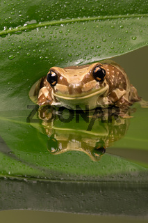 Amazonas-Milch-Frosch (Trachycephalus resinifictrix)