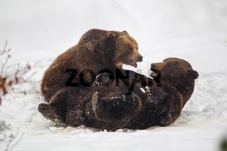 Braunbären (Ursus arctos)