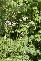 Valeriana officinalis, Echter Baldrian