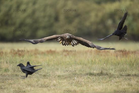 chasing ravens... White-tailed Eagle *Haliaeetus albicilla*