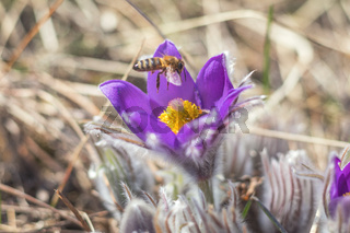 Beautiful spring buds flowers background. Bee collects nectar. Eastern pasqueflower, prairie crocus, cutleaf anemone with water drops. Shallow depth of field. Toned. Copy space.