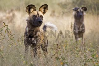 Afrikanische Wildhunde (Lycaon pictus), Afrika, Namibia, african wilddogs, Africa