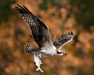 Osprey in Flight With Catch XII