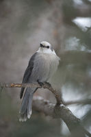 always attentive... Grey Jay *Perisoreus canadensis*