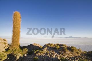 Kakteen auf der Insel Isla Incahuasi, Salzsee Salar de Uyuni, Altiplano, Bolivien, Cactuses at Island Isla Incahuasi, salt lake Salar de Uyuni, Bolivia