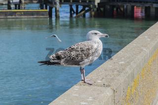 Young Herring Gull