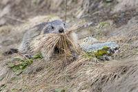 Alpine Marmot (Marmota marmota), Grossglockner, Hohe Tauern National Park, Kaernten, Austria, Europe