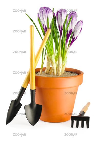 Crocuses and garden tools