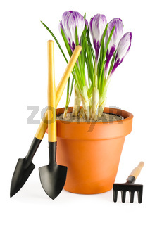 Crocuses and garden tools