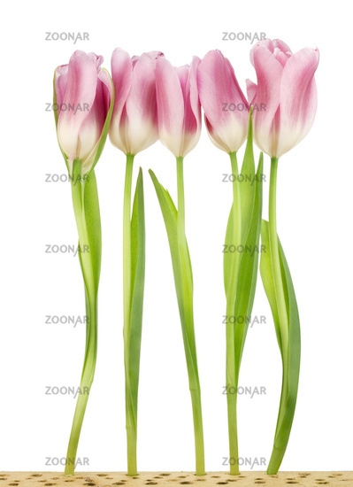 Five tulips on wooden bed