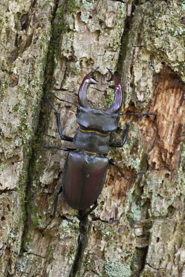 detailed upside view...  Stag Beetle *Lucanus cervus*