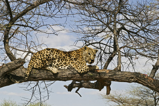 Leopard (Panthera pardus) auf einem Baum, Namibia, Afrika,  Leopard is sitting on a tree, Africa