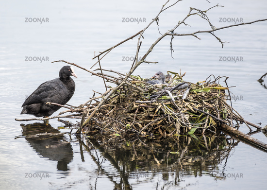 Female coot standing by her nest with two chicks