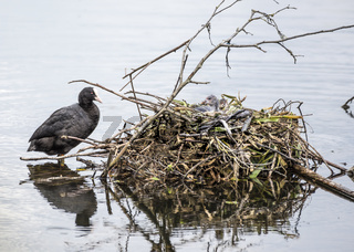 Coot and Her Nest