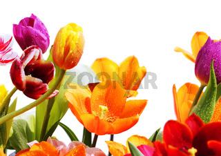 tulpen mit wassertropfen
