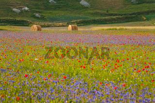 The flowering of Castelluccio