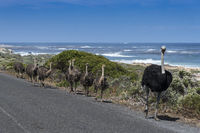 Austrich family  (Struthio camelus) on National Park road