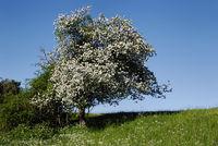 wildwachsender Kirschbaum
