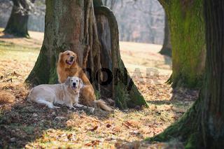 Two golden retriever on park
