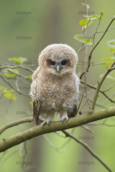 just cute... owlet of Tawny Owl *Strix aluco* perched on a branch