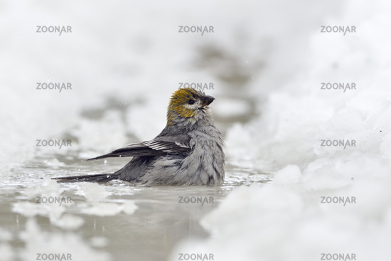 bathing in icecold water... Pine grosbeak *Pinicola enucleator*