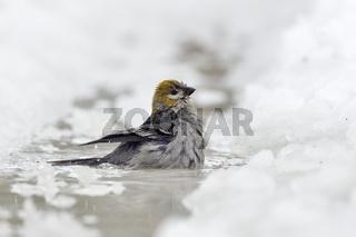 Vogelbad...  Hakengimpel *Pinicola enucleator*