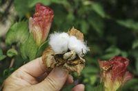 Baumwolle bluehend und fruchtend, cotton