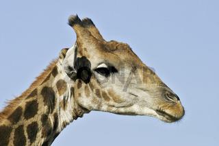 Giraffe (Giraffa camelopardalis), Etosha-Nationalpark, Namibia, Afrika, Giraffe, Etosha NP, Africa