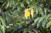 three yellow leaf