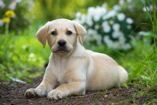 Labrador puppy in nature
